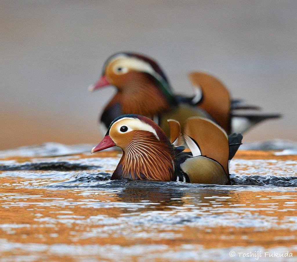 Mandarin The Hooded Love Bird Of East