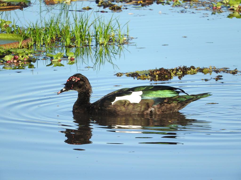 Duck Anyone? Mallard or Muscovite? - Wild Watch   Japan